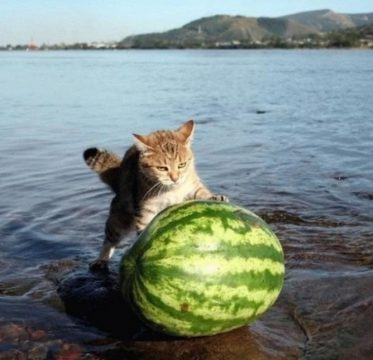 cat pushing a watermelon